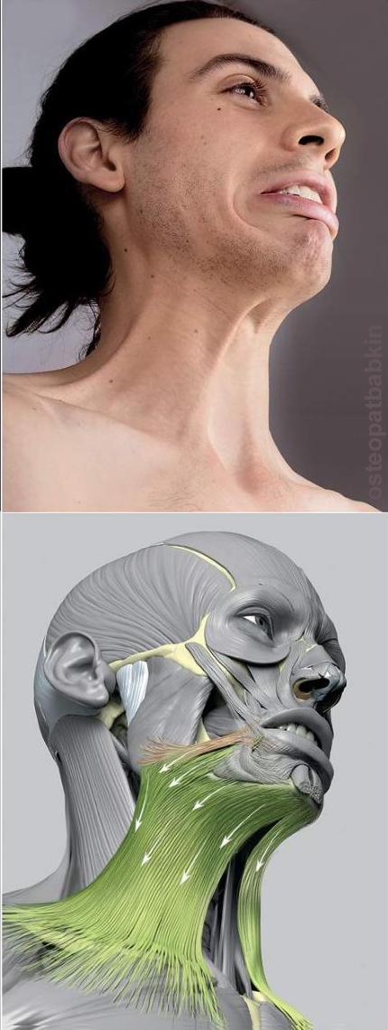 Функция подкожной мышцы шеи platysma