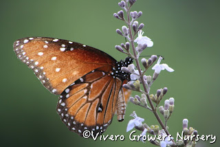 Queen butterfly and Vitex bloom