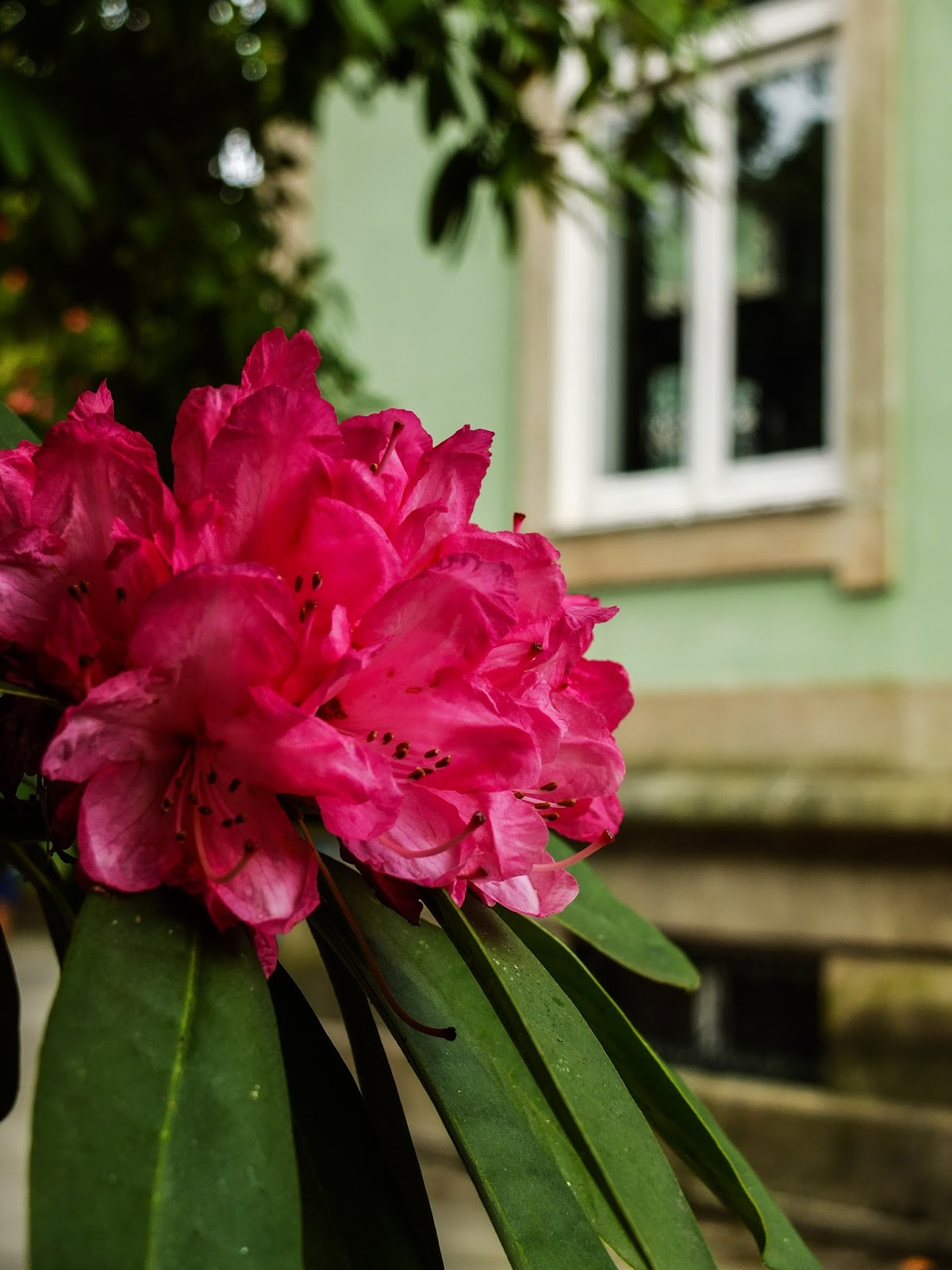 A pink rhododendron bunch in front of a building in Porto, Portugal.