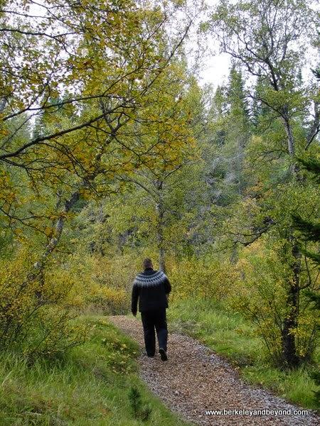 leafy trail at Hallormsstada Skogur park in Iceland