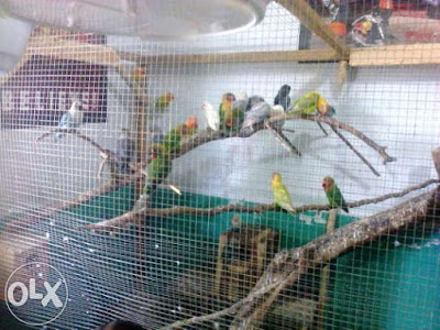 Kandang Kotak Burung Lovebird
