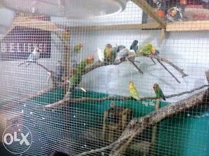 Bisnis Cara Ternak Burung Love Bird Agar Cepat Bertelur Untuk Pemula