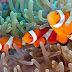 Jenis Jenis Ikan Giru / Nemo