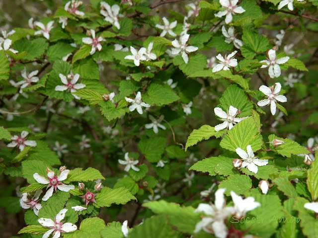 Rubus microphyllus
