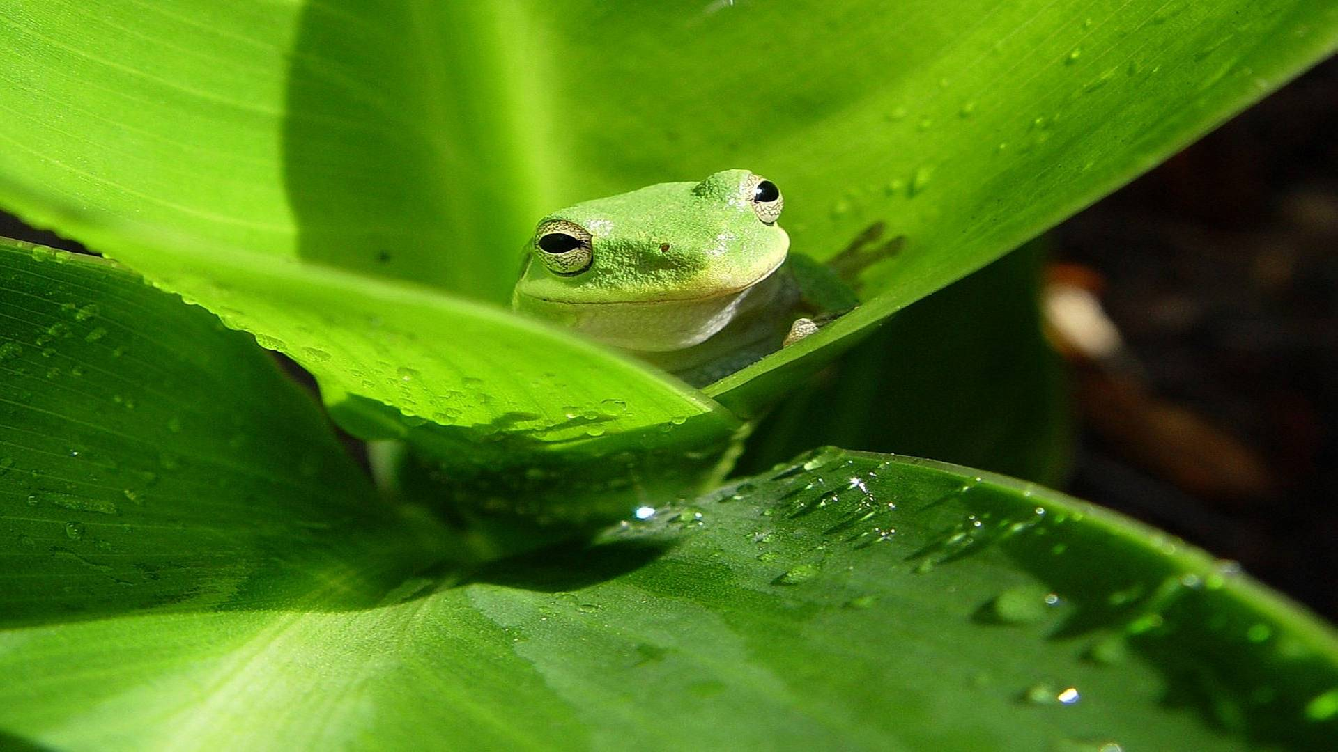 Frog HD Wallpapers Wallpaper