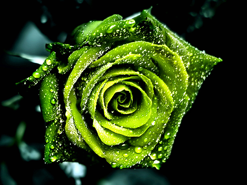 Beautiful HD Wallpapers: Green Rose HD Wallpaper