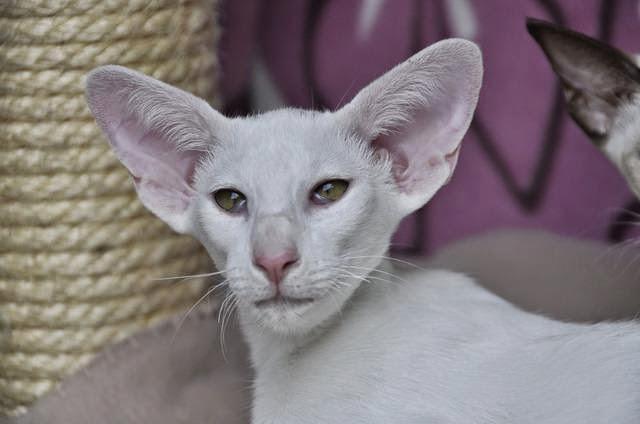 Pies I Kot W Twoim Domu Kot Orientalny Krótkowłosy