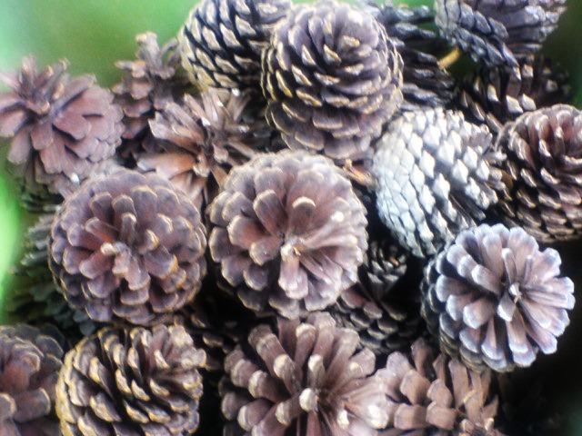 Image result for nenas batu