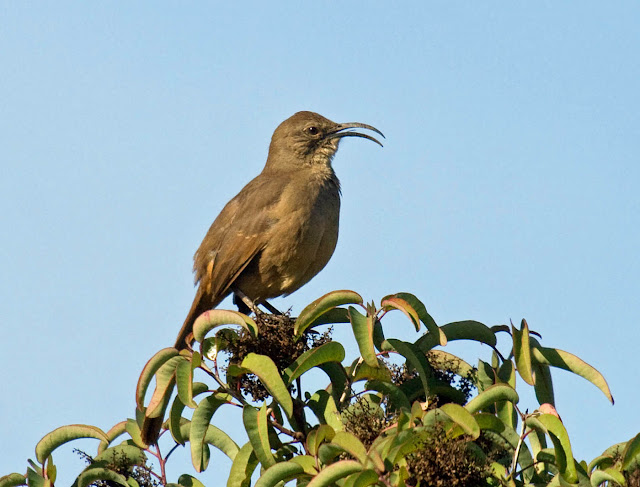 California Thrasher