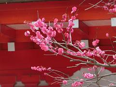 荏柄天神社:寒紅梅