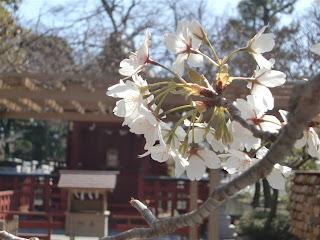 鶴岡八幡の大島桜