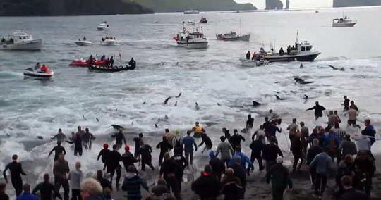 """Văn hóa """"đồ sát"""" cá voi ở Đan Mạch"""