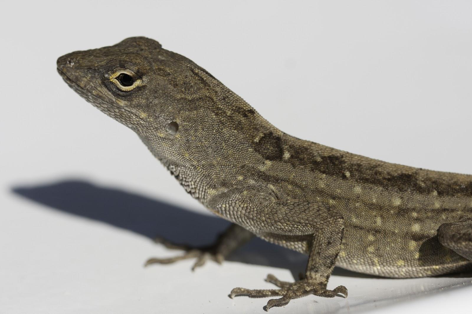 Two Garden Lizards | Hawaii Horticulture
