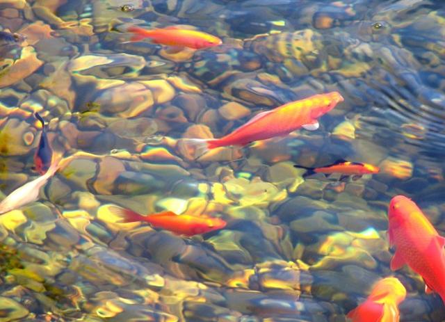 Jenis Ikan Hias Air Tawar Terlengkap  yang Mudah Dipelihara