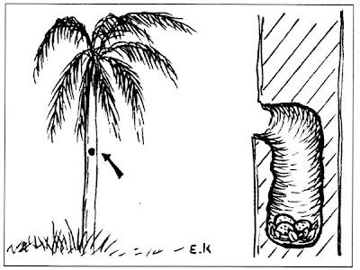 nido de Chopí Gnorimopsar chopi