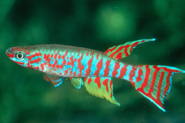 How To Breed Killifish - RictasBlog