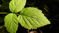 Blackberry bramble leaf. Picture from https://www.wildlifetrusts.org/