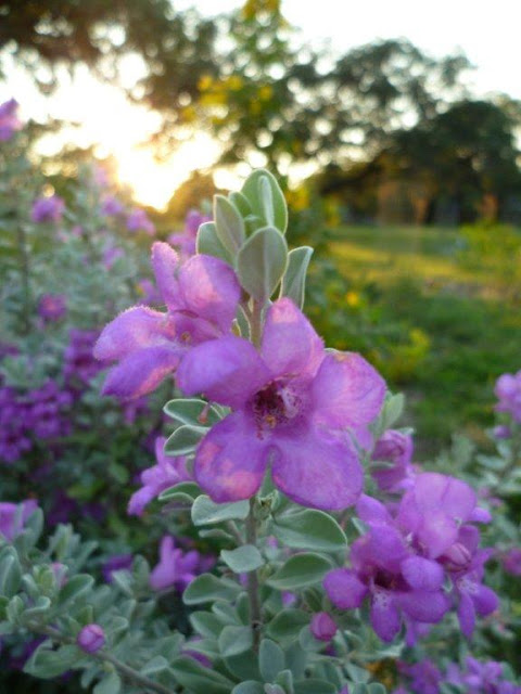 Texas Sage Leucophyllum Frutescens
