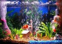 Cara Merawat Ikan Hias Di Akurium Dengan Aerator