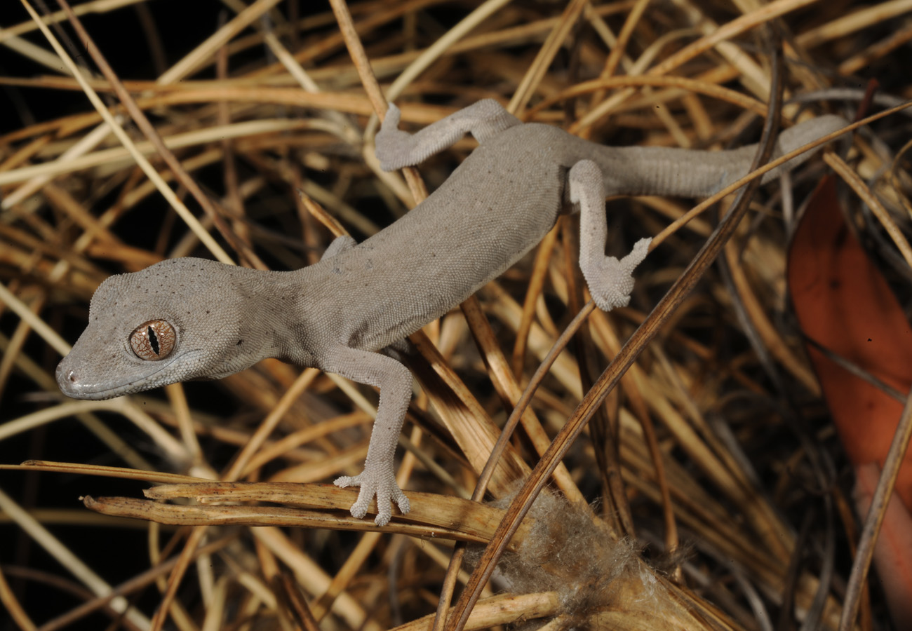 A new gecko from northern Australia.