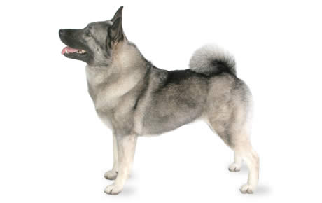 Are Norwegian Elkhounds Good Family Dogs