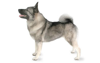Everything about your Norwegian Elkhound