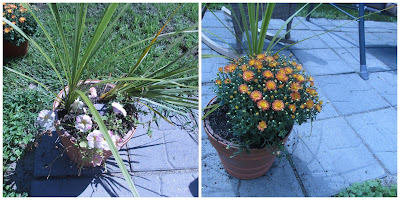 Before and after of my potted plants in backyard.