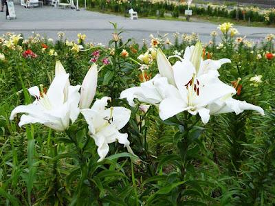 大阪舞洲ゆり園 遅咲きのゆり 白いゆり