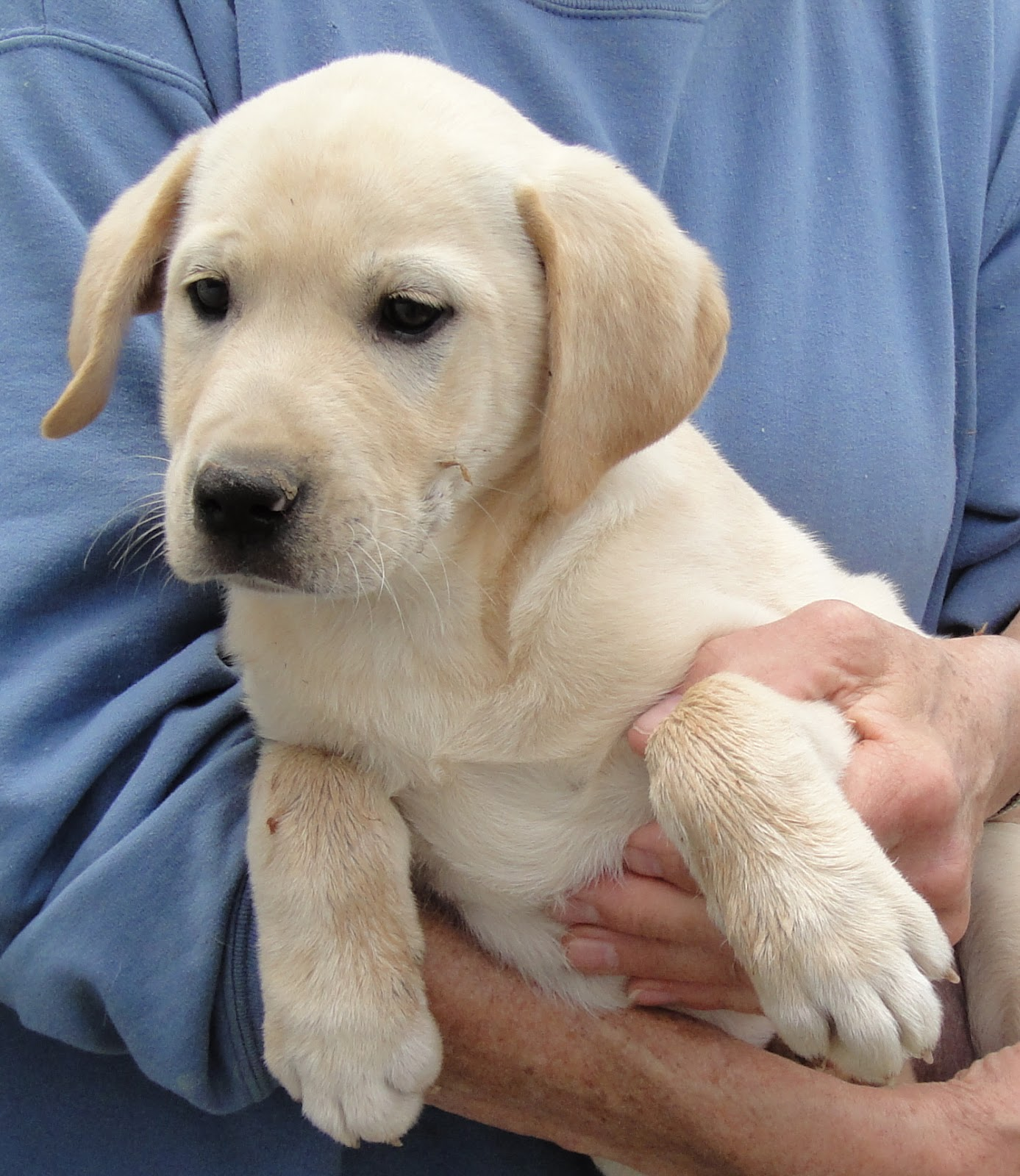yellow lab mix puppies - photo #2