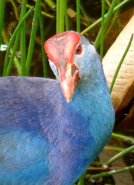 Purple Swamphen (Porphyrio Porphyrio) at Wakodahatchee Wetlands, Delray Beach