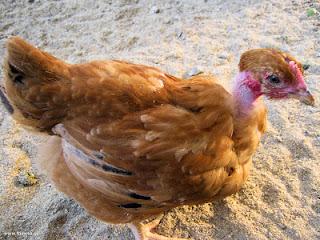 κοτόπουλα-κλωσσόπουλα