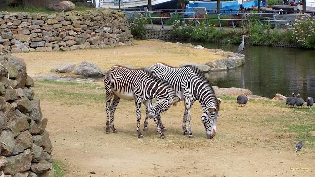 Twee zebra's in dierentuin Artis in Amsterdam.