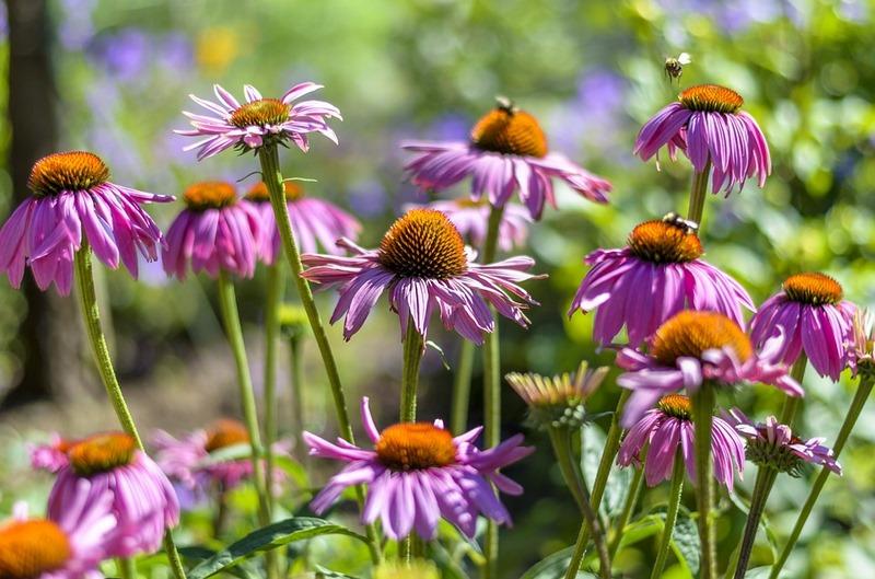 Equinacea-sos-polinizadores-bee-abejas-abejorros-flores (14)