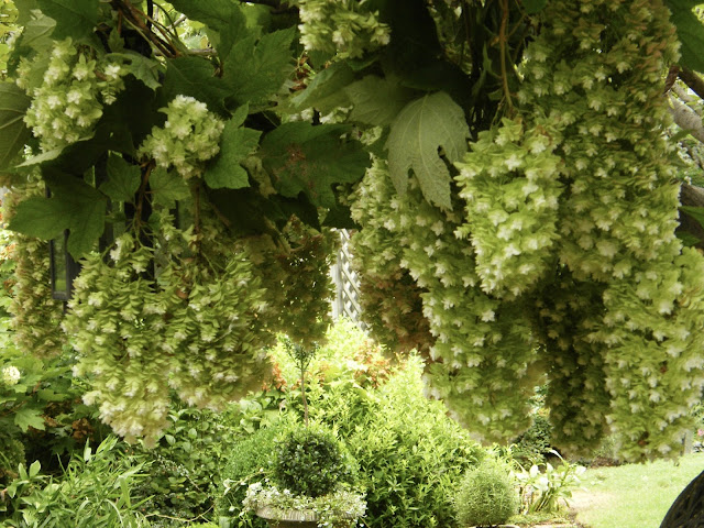 Cascades of drying Oak Leaf Hydrangea blooms create a floral chandelier compliments of Mother Nature.