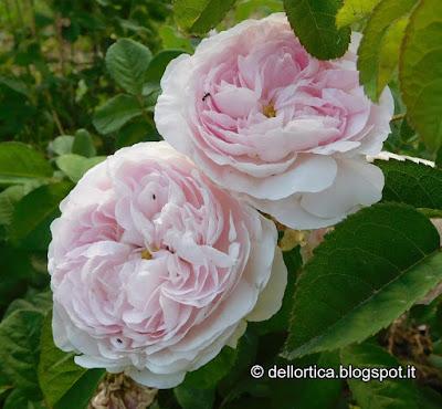 rosa gallica Duchesse de Montebello fiori ortica orto erbe officinali confetture tisane sali aromatici e tanto ancora alla fattoria didattica dell ortica a Savigno Valsamoggia Bologna in Appennino vicino Zocca