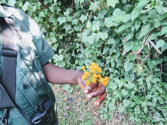 Orange flowers that have a stinky smell in Bigodi Wetlands in Western Uganda