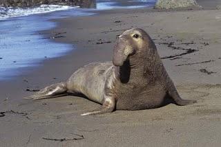 Elefante marino del norte