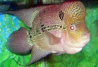 Ikan Hias Air Tawar Termahal  Chencu /Zhen Zhu