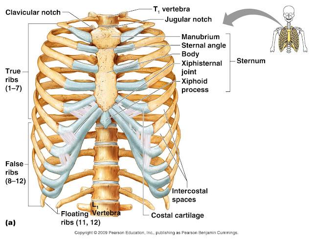 tulang dada dan tulang rusuk