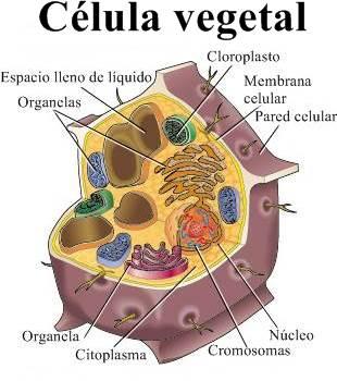 células vegetales