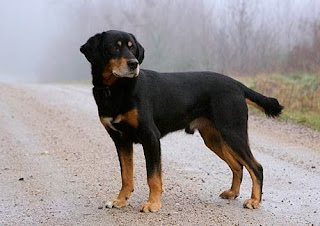 Everything about your Smaland Hound