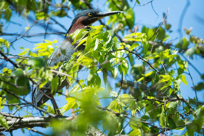 Green Heron, Post Oak Park