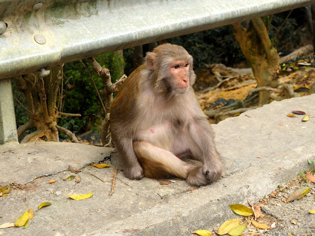 Monkey by the roadside on Monkey Mountain hike, New Territories, Hong Kong