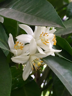 Citrus Bloom