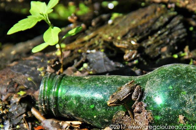 Ne jetez pas vos déchets dans la nature ! Jeune grenouille verte Fontainebleau