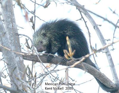 Puerco espín peludo Coendou mexicanus