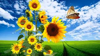 Gambar Bunga Matahari Paling Indah 200010_Sunflower
