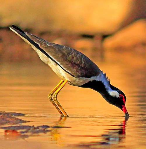 Indian birds - Picture of Red-wattled lapwing - Vanellus indicus