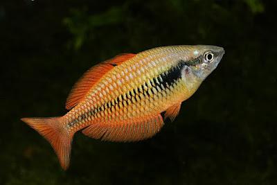 Lake Kurumoi rainbowfish