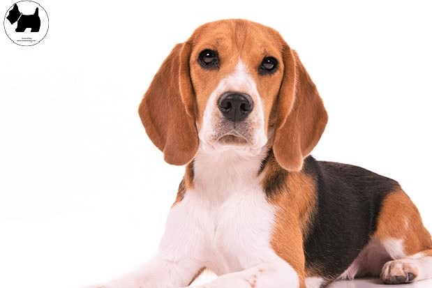 Cutest Dog Breeds, Best Dog, Beagle Dog puppies